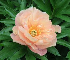 Pleasantly fragrant, Itoh Peony 'Singing in the Rain' features huge, semi-double, creamy flowers delicately flushed apricot-salmon.