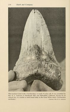 Fossilized shark tooth nearly 6 inches tall. Except for its colossal size, it is similar to teeth found today on the Great White shark.