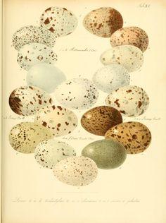 Zur Fortpflanzungsgeschichte der gesammten Vögel : - Biodiversity Heritage Library