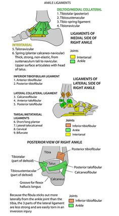 Instant Anatomy - Leg - Joints - Ankle Ligaments (Effects Of Bad Posture Products) Ankle Anatomy, Ankle Ligaments, Sports Therapy, Medical Anatomy, Podiatry, Muscle Anatomy, Sports Massage, Athletic Training, Sports Medicine