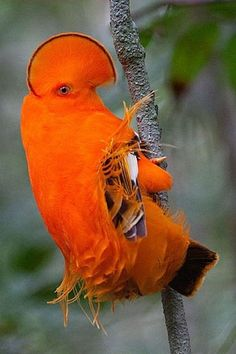 The exotic Guianan Cock-of-the-Rock. The bill, legs, feathers are all orange. Even the bird's skin is orange. One of the brightest birds of the South American rainforest. Kinds Of Birds, All Birds, Love Birds, Angry Birds, Weird Birds, Flying Birds, Exotic Birds, Colorful Birds, Exotic Pets
