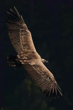 ♂ Wild life photography - eagle in flight Wildlife Photography, Animal Photography, Birds Of Prey, Bird Feathers, Beautiful Birds, Birds In Flight, Beautiful Creatures, Pet Birds, Bald Eagle