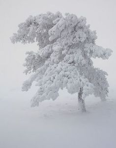 The snowy tree