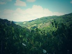 #Vendimia en #Chantada #RibeiraSacra #Lugo #Spain by @Coaaugaopescozo via Twitter