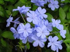 Plumbago auriculata is a shrub that prefers warm temperatures and produces blue flowers. Flower Pots, Heat Tolerant Flowers, Flower Garden Plans, Planting Flowers, Amazing Flowers, Flowers, Flower Garden, Full Sun Flowers, Sun Plants