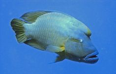 Napoleon Fish (Red Sea) by alfonsator,