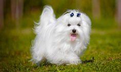 razas de perros pequeños bichon maltes
