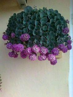 Sedum sieboldi plant!!! Beautiful and unusual!!!: