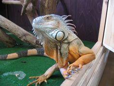 Come allevare un'iguana