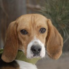 Pocahontas is an adoptable Beagle Dog in Evans, CO. All adoptions include: Spay/neuter If the animal is not yet spayed or neutered: Every animal will be spayed or neutered prior to going home with ado...