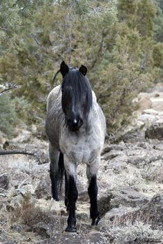 The Grey Ghost, wild horse near Virginia City, Nevada.