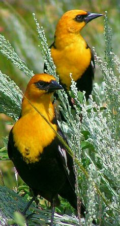 Yellow-headed Blackbirds (males) at Grand Teton National Park, Wyoming. - by Cindy Close