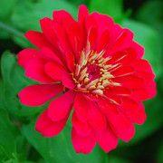 Zinnias thrive in full sun. http://www.examiner.com/slideshow/annuals-for-maine-gardens#slide=11