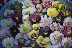 So many hellebores - better keep collecting.