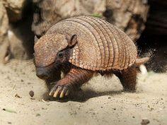 http://www.mundo.cz/sites/default/files/images/fauna-flora/pasovec-stetinaty.jpg
