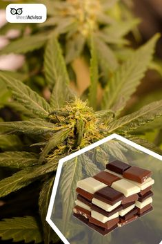 Researchers discovered that produces some of the same reactions in the brain as Get your now! Medical Marijuana, Cannabis, Packaging Supplies, North York, Buy Weed Online, Ganja, Hemp, Brain, Facts