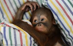 Say hello to Rizki, the tiny nappy-wearing orangutan who is hand-reared on milk and mashed banana after his mother rejected him at birth Zoo Animals, Animals And Pets, Save The Orangutans, Baby Orangutan, Cute Monkey, Primates, Say Hello, I Love Dogs, Animal Pictures