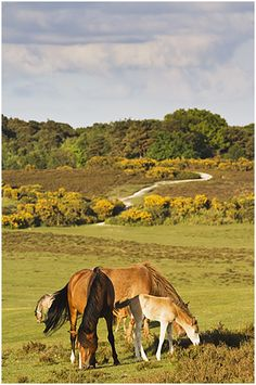 Ponies and foal in Spring Sure this in the New Forest Hampshire UK