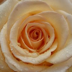 #Peach #Rose v/Flickr.
