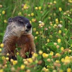 Groundhogs live in burrows, but can also swim and climb trees.