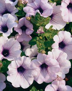 Supertunia® Mini Blue Veined - Petunia hybrid Petunia Care, Petunia Plant, Light Purple Flowers, Colorful Flowers, White Flowers, Beautiful Flowers, All Plants, Live Plants, Garden Plants