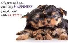 """Whoever said you can't buy happiness forgot about little puppies"" Happy Monday everyone! #morkie #yorkie #maltese #quotes http://ift.tt/1MZLWNI"