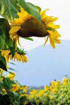 Chilliwack Sunflower Festival,  Locally Obsessed, Explore BC, Travel British Columbia British Columbia, Tourism, Explore, Inspired, Plants, Travel, Inspiration, Turismo, Biblical Inspiration