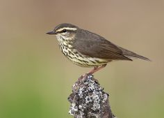 Northern Waterthrush - The waterthrushes are a genus of New World warbler, Parkesia.