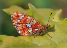 A nice ventral view of a Pearl Bordered Fritillary((Boloria euphrosyne) ) photographed by Paul Dibben at Bentley Woods UK on 25th May