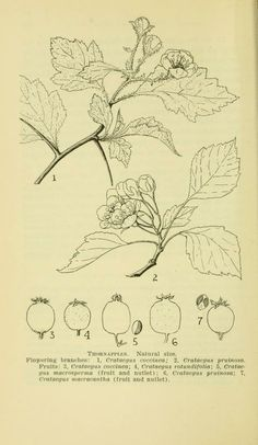 Vermont shrubs and woody vines / - Biodiversity Heritage Library