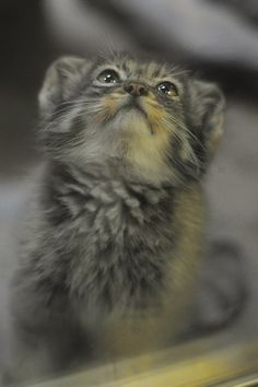 """Manul kitten 