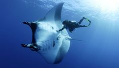 Giant manta rays swim with divers.