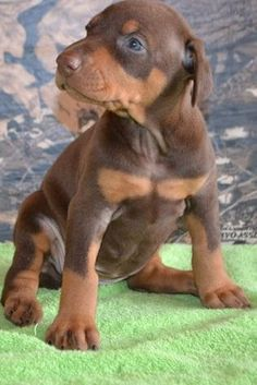 They should definitely stay this small. Doberman puppy