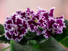 African Violet plug plant- Amadeus ( Russian variety)