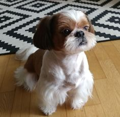 Some of the things we adore about the Fun Shih Tzu Puppies Shih Tzu Puppy, Shih Tzus, Husky Puppy, Cute Baby Animals, Animals And Pets, Pet Dogs, Dog Cat, Doggies, Lion Dog