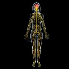 Sistema Nervioso En la Mujer
