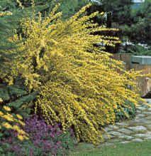 Κύτισος ή Σύτισος Cytisus scoparius  Θάμνος φυλλοβόλος, ανθεκτικός, ύψους έως 2,5μ.  Ανθίζει Μάιο έως Ιούλιο με άνθη αρωματικά ,   Ευδοκιμεί σε εδάφη καλά στραγγιζόμενα και λιαζόμενα σημεία. Ανθεκτικό σε ξηρά και άγονα εδάφη.