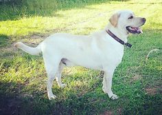 Boom diiiaa!  #Harry #Labrador #Retriever #filhotes #cachorro #dog #Instadog #instaharry #instapet #dogslovers #puppy #pup #doggie #pet #lab #yellowlab #golden #talesofalab #babydog #loveanimals #labragram #laboftheday #worldoflabs #photo #instagram #day #today #mylife #lovedogs #amocachorro by labradorrharry
