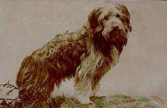 Bearded Collie Post Card 2