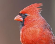 Beautiful Cardinal!  Great picture by @Steve Creek!