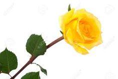 Kết quả hình ảnh cho yellow rose
