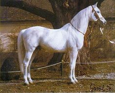 Shagya Arabian-I like this much better than the exaggerated halter Arabs.