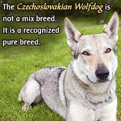 Fact about Czechoslovakian wolfdog
