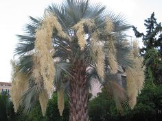 """Brahea armata- Blue Hesper Palm Native to California, a single trunk fan palm that has distinctie chalky blue-gray fronds and long and arching creamy-yellow inflorescences developing during summer for a very showy display. Gets to about 30' tall, very slowly with a trunk diameter of 24-30"""""""