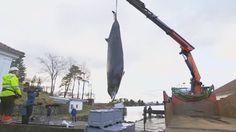 Vídeo: Encuentran 30 bolsas de plástico dentro de una ballena muerta en Noruega. http://elpais.com/elpais/2017/02/03/videos/1486139263_609478.html    Actualidad   EL PAÍS