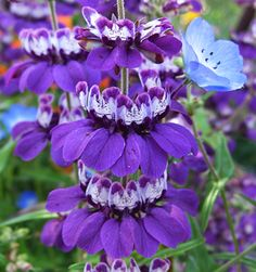 "Collinsia species 'Purple' ""Chinese Purple Houses"""