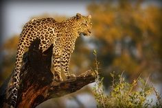 Tubu Tree Camp As always the leopard sightings have been superb at Tubu Tree. These majestic cats never fail to wow our guests. We had some great sightings of a female with two young cubs in front of camp and several sightings of different leopard with their kills in trees.