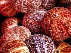sea urchins...