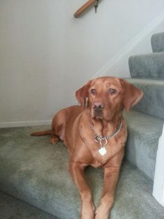 Isn't she a cutie my Abby girl my red lab