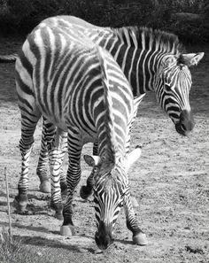 cebra Animals, Animales, Animaux, Animal, Animais